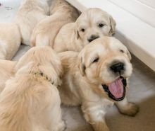 Staggering Ckc Golden Retriever Puppies Available