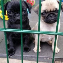 Top Quality Pug Pups Available