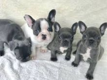 Top Quality Blue Pied French Bulldog Puppies Available Image eClassifieds4U