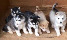 Alaskan Malamute puppies available