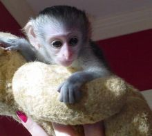 Capuchin Monkeys Available We have available an outstanding Capuchin monkey which is ready to go
