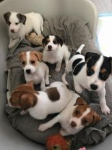 Jack Russell Terrier Pups Available*Email at christoprodriguez7@gmail.com