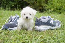 Female and Male Bichon Frise Puppies For sale