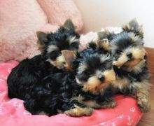 Joyful Male and Female Yorkie Puppies For Adoption.