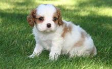 marvelous male and female Cavalier King Charles puppies