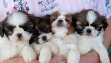 Shih Tzu Puppies Available Male & Female