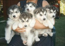 Alaskan Malamute puppies available Image eClassifieds4u 2