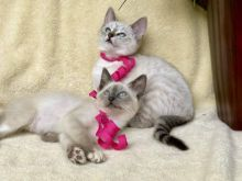 Siamese Kittens For Rehoming ( +1 662 516 5239 ) Image eClassifieds4u 3