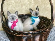 Siamese Kittens For Rehoming ( +1 662 516 5239 ) Image eClassifieds4u 1