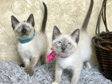 Siamese Kittens For Rehoming ( +1 662 516 5239 ) Image eClassifieds4u 2