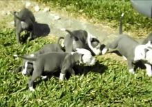 American Staffordshire terrier puppies available