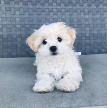 Cute Maltese Puppy available for adoption Email us michealmoore225@gmail.com