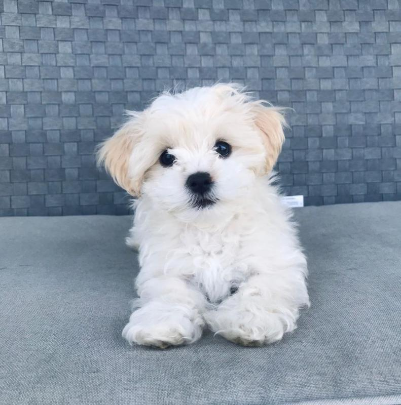 Cute Maltese Puppy available for adoption Email us michealmoore225@gmail.com Image eClassifieds4u