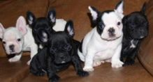 Well-socialized French Bulldogs morgantrinity15@gmail.com