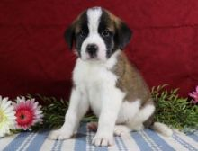 C.K.C MALE AND FEMALE SAINT BERNARD PUPPIES AVAILABLE