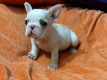 Gorgeous French Bulldog Puppies morgantrinity15@gmail.com