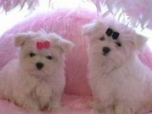 Teacup Maltese Pups Available maxtony230@gmail.com