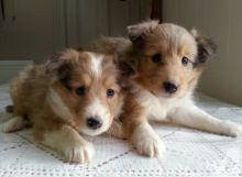 ❤️ Shetland Sheepdog Puppies Puppies for Adoption Txt or Call (431) 302-3667