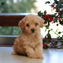 ❤️Toy Poodle puppies male and famales Available - Txt or Call (431) 302-3667❤️ ❤️❤️