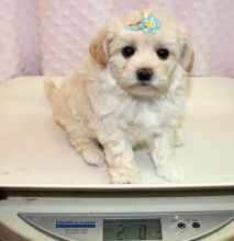 Available White Maltese Puppies