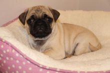 Companion Pug Puppies Available.morgantrinity230@gmail.com
