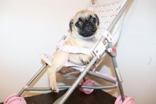 Excellent And Jovial male and female Pug For you re-homing .morgantrinity230@gmail.com