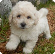 ❤️ ❤️❤️❤️Toy Poodle puppies male and famales Available - Txt or Call (431) 302-3667 Image eClassifieds4u 1