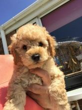 ❤️ ❤️❤️❤️Toy Poodle puppies male and famales Available - Txt or Call (431) 302-3667 Image eClassifieds4u 2