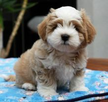 ❤️ ❤️Gorgeous Havanese Puppies for re-homing - (431) 302-3667❤️❤️❤️