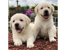❤️ ❤️Gorgeous Labrador-Retriever Puppies for re-homing - (431) 302-3667❤️❤️❤️