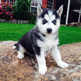 Male and Female Siberian Husky Puppies💝💝Email at ⇛⇛ [williamjaydenscot36@gmail.com]
