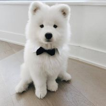 Cute samoyed male and female puppies for adoption [williamjaydenscot36@gmail.com]