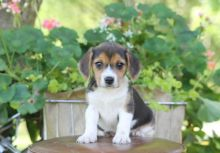 Lovely Beagle Puppies for Adoption (williamjaydenscot36@gmail.com)