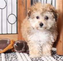 Male and female CKC Morkie Puppies for Adoption (williamjaydenscot36@gmail.com)