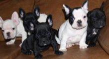 Ckc registered French Bulldog puppies .morgantrinity15@gmail.com
