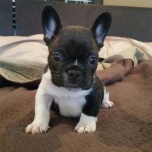 Quality French Bulldog Puppies morgantrinity15@gmail.com