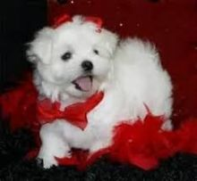 Two Top Class Maltese Puppies Available maxtony230@gmail.com