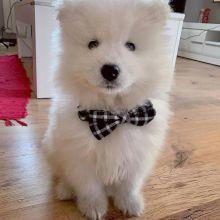 Adorable Samoyed pups for free adoption