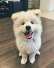 Charming Samoyed pups male and female Available