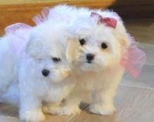 Home-raised Teacup Maltese Puppies for Adoption maxtony230@gmail.com