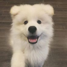 Samoyed puppies- Male & Female For Adoption