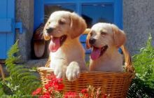 Sweetest Labrador Puppies Available. kembehrodrique@gmail.com