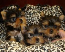 we have beautiful Yorkie puppies ready.perrymorgan38@gmail.com