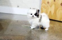 WHITE MALE POMERANIAN PUPPY. samueljeffrey72@gmail.com