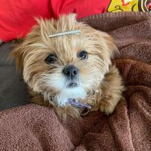 CHARMING LHASA APSO PUPPIES NOW READY FOR ADOPTION
