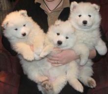 EXCEPTIONAL C.K.C SAMOYED PUPPIES FOR ADOPTION