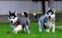 FANTASTIC BLUE EYES SIBERIAN HUSKY PUPPIES FOR ADOPTION