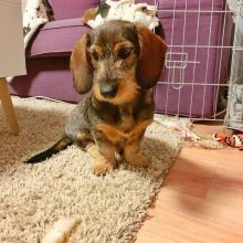 Full Pedigree Fawn Puppies For Sale,