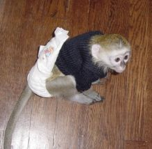 2 Brilliant Lovely Potty Tamed Capuchin Baby Monkeys For Your Family? perrymorgan38@gmail.com