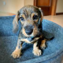 Dachshund Pups for Adoption